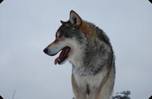 Djurparksföreningen säger ja till utsättning av varg